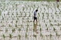 A file picture of a researcher checking a field of genetically-modified rice in China. Photo: AFP