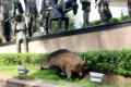 The pig ran across Justice Drive and fled towards a hillside before disappearing. Photo: SCMP Pictures