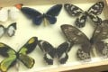 Some of the butterfly specimens, which were smuggled into China, are displayed by customs officials. Photo: Xinhua
