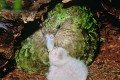 New Zealand's rare green kakapo parrot and chick. Photo: AFP