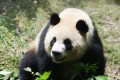 According to China's State Administration of Forestry, 1,864 pandas remained in the wild, with another 375 in captivity, as of the end of 2013. Photo: Xinhua