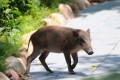 Wild pigs have appeared in Ocean Park on multiple occasions. The animal pictured was captured in the park in September 2013. Photo: SCMP Pictures