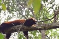 An escaped red panda rests in a tree before being recaptured. Photo: SCMP Pictures