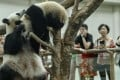 Visitors watch a mother and daughter pair of pandas play at the Malaysian zoo in Kuala Lumpur. The pandas are on loan from China to celebrate bilateral ties. Photo: EPA