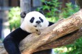 A file picture of the Giant panda Mei Xiang at the National Zoo in Washington. Photo: AFP