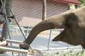 An elephant tucks into one of the treats. Photo: Chinanews.com