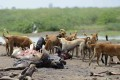 Dogs feed on the remains of dead cattle on the outskirts of Wadhvan. Photo: AFP