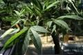Medical marijuana is already legal across Canada. Photo: AFP