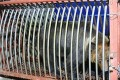 The bear was restrained after being subdued with an anaesthetic dart. Photo: SCMP Pictures