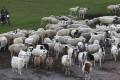 A man herds sheep in New Barag Left Banner, Inner Mongolia, in September. Photo: Simon Song