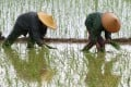 Farmers transplant rice seedlings in the Guangxi Zhuang autonomous region in May 2013. Farmers can be offered subsidies as an incentive for them to stay on the land instead of becoming migrant workers. Photo: Xinhua