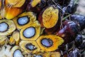 A palm oil fruit bunch. Photo: Bloomberg