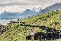 Volunteer farmhand Scott musters cows and calves at Walter Peak Station, Queenstown, New Zealand. Photo: Valerie Teh