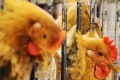 The latest import ban of three regions follows a worldwide ban of poultry products from various other countries currently in place as a precaution. Photo: Edward Wong