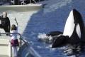 A 2006 photo of an orca show at SeaWorld San Diego. Photo: AP