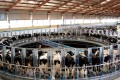 Cows are milked by machine at a milking station in a dairy farm in Hohhot, in north China's Inner Mongolia. Photo: AFP