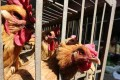 Chickens are sold in a livestock market ahead of a government-ordered halt in trading on March 1 in Kunming, Yunnan province. Photo: Reuters