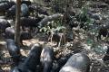 """These feral """"wild"""" pigs are part of a huge herd raiding fruit and vegetable fields in tambon Khlong Sa Bua of Phra Nakhon Si Ayutthaya district, and the villagers want something done about them. Photo: Sunthon Pongpao/Bangkok Post"""