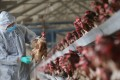 The H7N9 strain is difficult to detect in poultry. Photo: Reuters