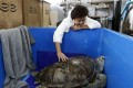 Veterinary scientist Nantarika Chansue nurses the turtle after surgery to remove coins from its stomach. Photo: EPA