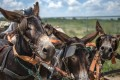 Donkeys pulling a cart in Magosani village in South Africa's North West province. Photo: AFP