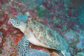 The Hawksbill, considered by many to be the most beautiful of all sea turtle species for their colourful shells, is a critically endangered species. Photo: New Straits Times