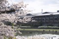 A view through the cherry blossom trees across Kyoto's Kamogawa River, looking towards The Ritz-Carlton.