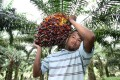 A farmer carries palm oil fruit at a Felda plantation in Bukit Kuantan, Malaysia. Photo: AFP