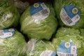 British-grown iceberg lettuces will reappear on supermarket shelves this week. Photograph: Darren Staples/Reuters