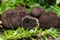 This 2014 photo provided by the University of New Hampshire shows E. barletti, a species of truffle discovered by researchers with the New Hampshire Agricultural Experiment Station. The species is named for Josiah Bartlett, a signer of the US Declaration of Independence and New Hampshire's first governor. Photo: University of New Hampshire via AP