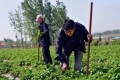 Zhang Guihai pictured working on the farm. Photo: Handout