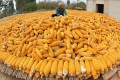 An elderly farmer dries maize in her courtyard in Botou, Hebei province, last October 12. Photo: Xinhua