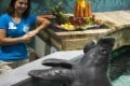 Snooty the manatee is pictured with a South Florida Museum staffer on Saturday during a celebration of his 69th birthday. Snooty was found dead in his tank the next day. Photo: TNS