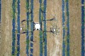 A drone sprays pesticide on to a field in Jixian, northern China's Shanxi province. Photo: Xinhua