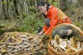 A woman gathers mushrooms in a forest near Stavropol, Russia, in this file fphoto. Photo: AFP