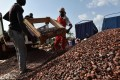 This photograph taken on March 6, shows workers at a cocoa sorting centre in Sobre, Ivory Coast The chocolate industry is indirectly driving massive and illegal deforestation in Ivory Coast, fuelling a catastrophic decline in wildlife, a green group say. Photo: AFP