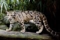 The clouded leopard has a habitat on the Asian mainland that stretches from peninsular Malaysia to Nepal. If there were clouded leopards in Taiwan they were probably a subspecies of the mainland big cat. Picture: Alamy