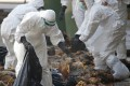 In this 2014 file photo, health workers in full protective gear collect dead chickens killed by using carbon dioxide, after bird flu was found in some birds at a wholesale poultry market in Hong Kong. New strains of the H7N9 bird flu virus in China has shown the potential to possibly cause a global pandemic. Photo: AP