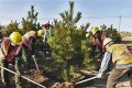 Municipal workers plant a pine tree in Xiongan. Photo: 163.com