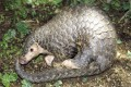 The Chinese pangolin is one of eight species of pangolin, all of which are poached for their meat and scales for traditional Chinese medicine. Photo: Kadoorie Farm and Botanic Garden