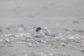 Conservationists are celebrating the recent arrival of this rare fairy tern chick at Mangawhai. Photo: Northern Advocate