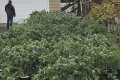About 35,000 marijuana plants worth more than US$80 million have been seized in Washington state. Photo: Grays Harbor County Sheriff's Office