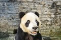 Peng Peng the panda died at the age of 18 at a conservation centre in Sichuan. Photo: Weibo