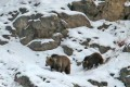 A brown bear mother and baby make their way across the frozen landscape during the safari in Dras, India. Photo: Surya Ramachandran