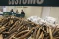 Hong Kong customs display a seized cargo of tusks. Photo: Dickson Lee