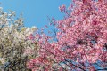 Cherry blossoms are expected to appear on trees in Japan from March 20 onwards. Photo: Unsplash