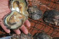 A pearl is found in an oyster farmed off the coast of Tai Po. Picture: David Wong