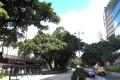 Trees along Nathan Road in Tsim Sha Tsui. Photo: David Wong