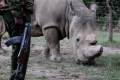 A police officer looks at a northern white rhino, only three of its kind left in the world, as it moves in an enclosed and constantly protected perimeter ahead of the Giants Club Summit of African leaders and others on tackling poaching of elephants and rhinos, Ol Pejeta conservancy near the town of Nanyuki, Laikipia County, Kenya, April 28, 2016. Photo: REUTERS/Siegfried Modola
