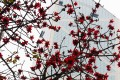 Cotton trees in full bloom in Central. Photo: Alamy